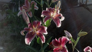 Lilies in Sunset